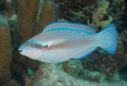 Boycott the Princess Parrotfish