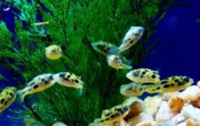 Puffer Fish for the Tropical Fish Tank