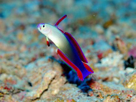 Purple Firefish