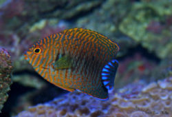 Reef-Compatible Versus Reef-Associated Fishes