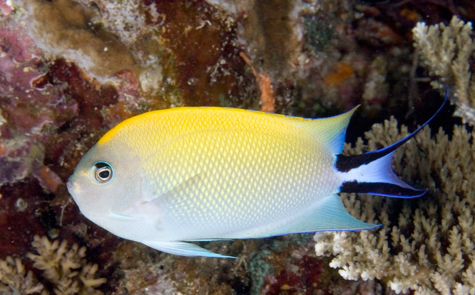 Excellent Reef-Safe Angelfish