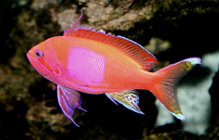 Saltwater Anthias
