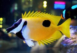 Saltwater Aquarium Rabbitfishes