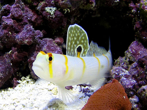 Saltwater Goby Fish