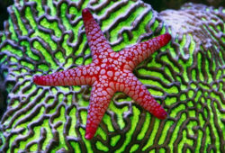 Saltwater Starfish