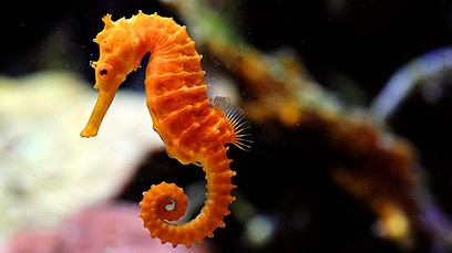 Keeping Seahorses is a cinch