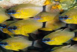 Shoaling Saltwater Aquaria Fish