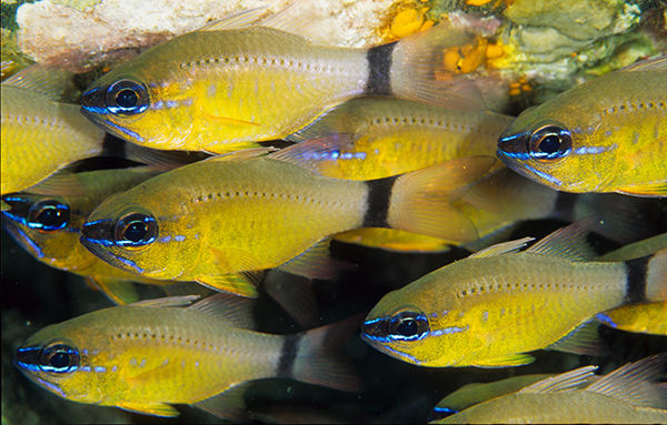 Shoaling Saltwater Aquaria Fish Information And Recommendations On