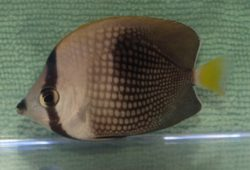 Tahiti Butterflyfish for Aiptasia Control