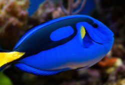 Best Tangs for the Tropical Saltwater Aquarium