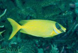 The Algae-Eating Rabbitfishes