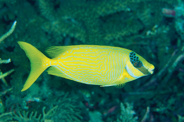 The Algae-Eating Rabbitfishes