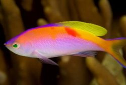 The Bartlett's Anthias