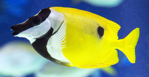 The Foxface Rabbitfish