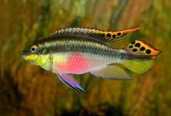 The other Pelvicachromis