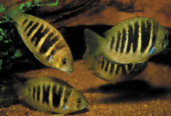 The shoaling cichlid