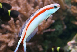 Tilefish are Good Aquarium Fishes