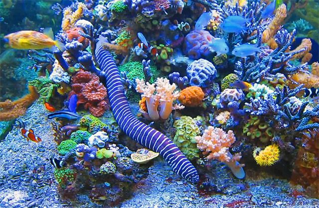 A tropical marine aquarium eel useful information on subject for Eel fish tank
