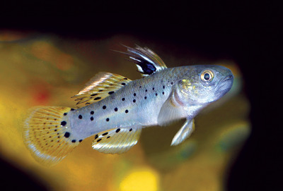 A fishkeeper's guide to gobies