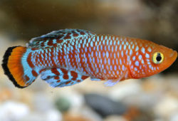 Killing the killifish myths