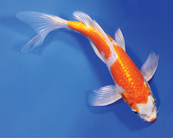What to Look for In an Expensive Koi