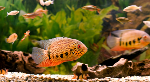 Unusual Fish for the Freshwater Aquarium
